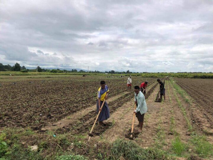 နေပြည်တော်တွင် အခြား သီးနှံဖြစ်သည့် သပြေ စိုက်ပျိုးမှု များပြားလာ၍ နေ့စား အလုပ်သမားများ အတွက် အဆင်ပြေ