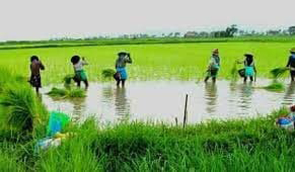 နိုင်ငံတစ်ဝန်း မိုးစပါးစိုက်ဧက ၁၄ ဒသမ ၆၇ သန်း စိုက်ပျိုးထားပြီးဖြစ်