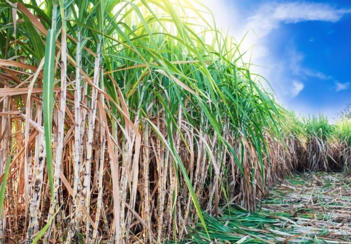 (၆)လအတွင်း နေပြည်တော်၌ ကြံစိုက်ဧက ၁၄၀၀၀ စိုက်ပျိုးရန် လျာထား